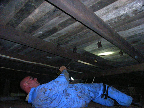 Michael Powell performing pest inspection under the floorboards. Note small bats in attendance