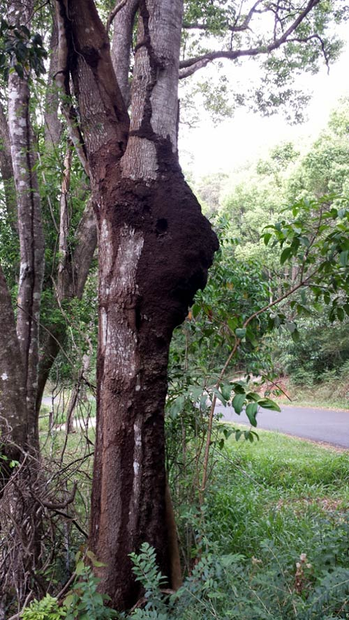 A well established Termite nest on Goonengerry Road near Mullumbimby