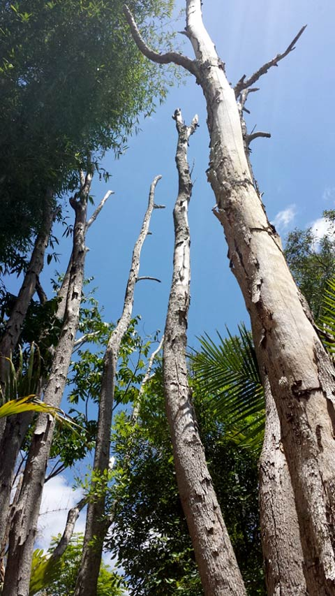 Dead trees from termite attack
