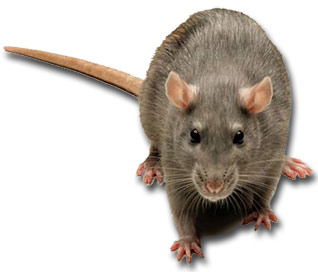 Mice and Rat Control rodent infestation management